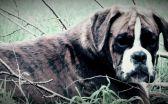 Boxer - Elevage de l'Oree des Montagnes Noires