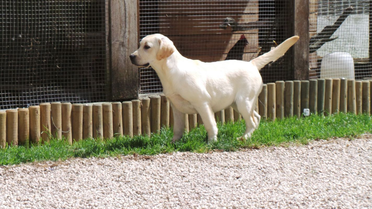 Labrador - Elevage de l'Oree des Montagnes Noires